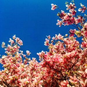 Magnolia's om van te houden